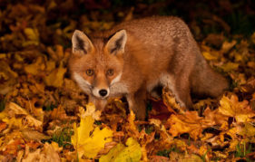 Gardens provide food and shelter for foxes