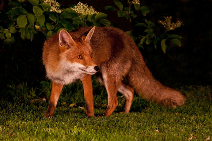An urban red fox