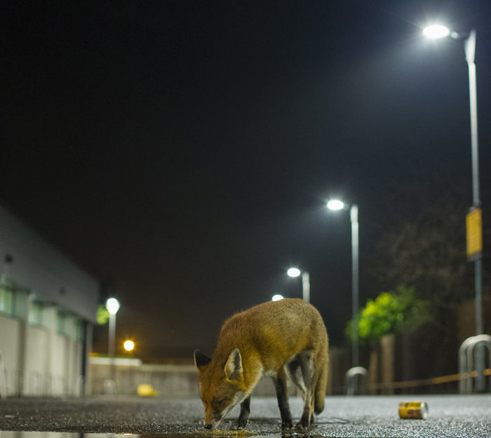 Foxes are equally at home in the countryside and in cities