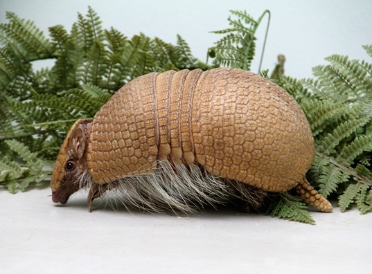 Rica, Edinburgh Zoo's baby armadillo
