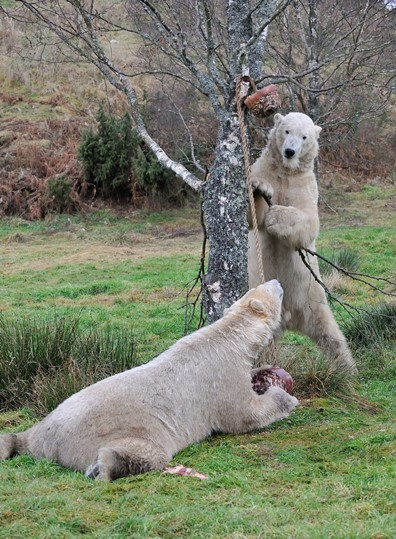 Walker and Arktos will be joined by a female polar bear in spring 2015 (c) Alex Riddell