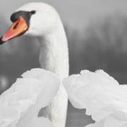 Mute swans have a distinctive orange and black bill