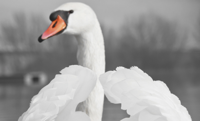 Mute swans have a distinctive orange and black bill