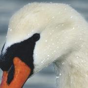 A mute swan in close-up