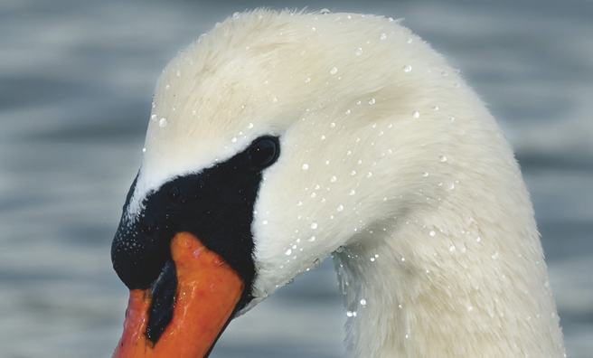 A mute swan in close-up