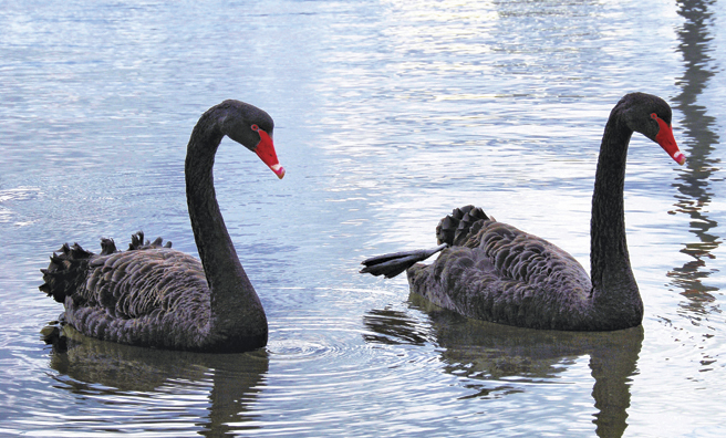 Black swans nest among canal boats in Lothian farmland