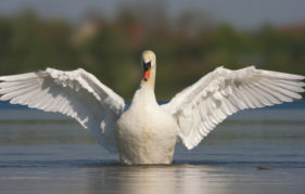 A mute swan's wingspan can reach 2.4 metres