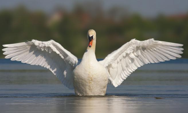A mute swan's wingspan can reach 2.4 metres