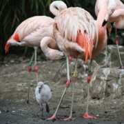 Chilean Flamingoes at Edinburgh Zoo. Photo courtesy of Royal Zoological Society of Scotland
