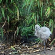 One of the five Chilean Flamingo chicks at Edinburgh Zoo. Photo courtesy of Royal Zoological Society of Scotland