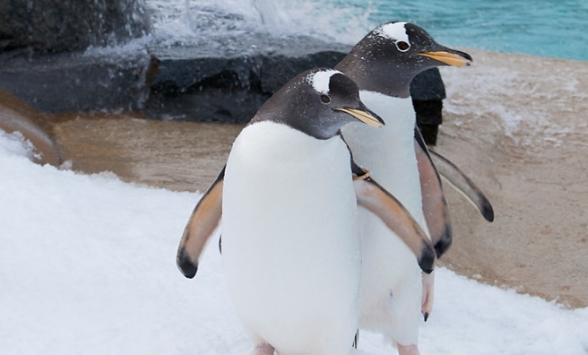 Remind you of anyone? Monty and Mabel's antics were inspired by the penguins at Edinburgh Zoo. Credit: Ivon Bartholomew