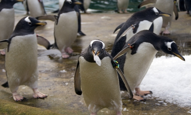 P-P-P-Pick up a piece of ice! The gentoo penguins at Edinburgh Zoo enjoy the cold snap.