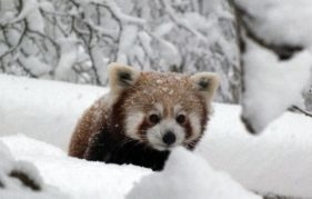 Kevyn the Red Panda ventures out into the snowy weather