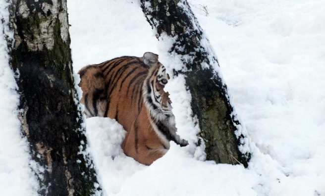 One of the Amur Tigers plays peek-a-boo in the snow. Photo by Jan Morse