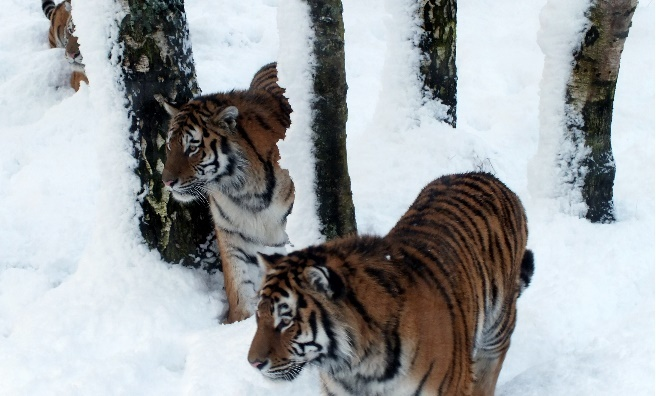 The Highland Wildlife Park's Amur Tigers in the snow. Photo by Jan Morse