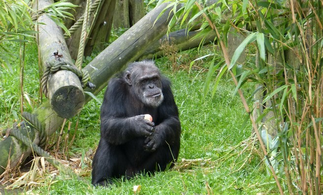 David, one of the Edinburgh chimpanzees. Photo by Jamie Norris