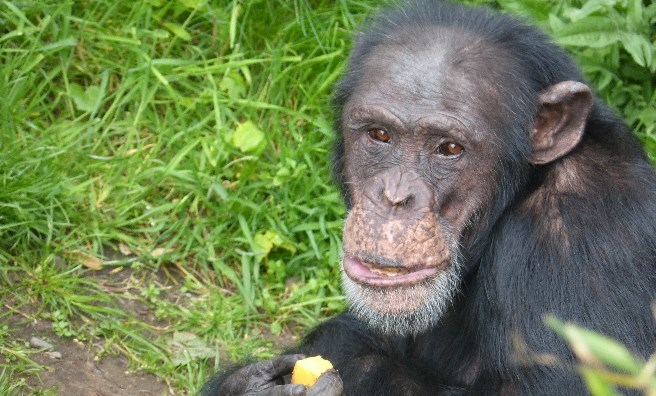 Frek, one of the Bekse Bergen chimpanzees. Photo by Jamie Norris