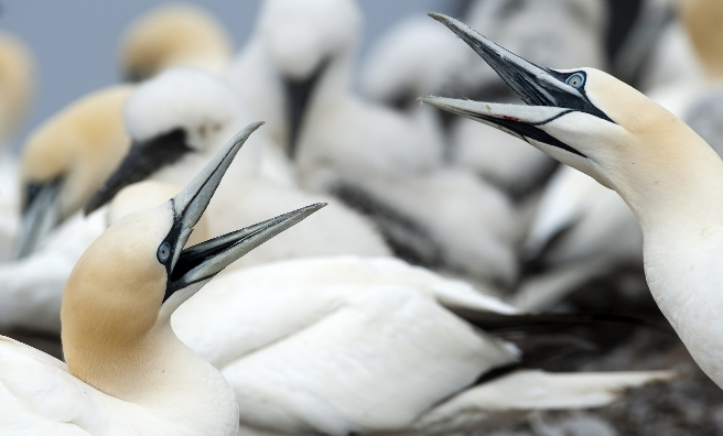 Gannets at the Bass Rock. Photo by Gareth Easton