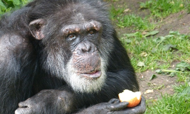 Louis, one of the Bekse Bergen chimpanzees. Photo by Jamie Norris