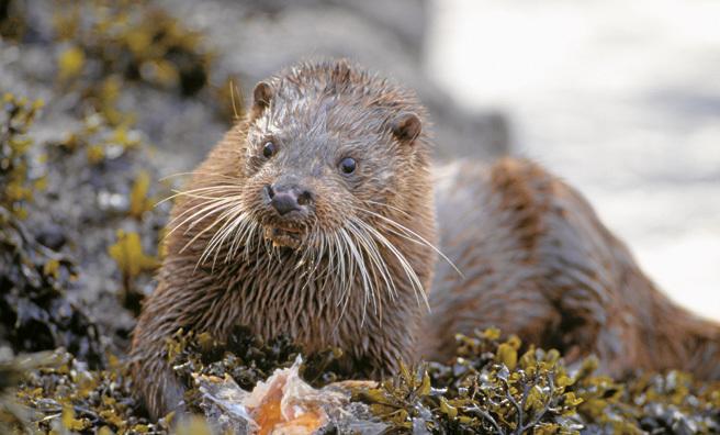 Otter, Loch Slapin