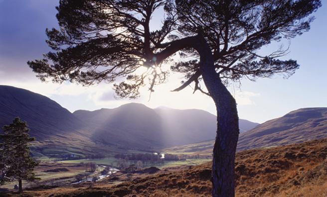 A Scots pine, Glen Lyon, Perth and Kinross (Pic: Alamy)