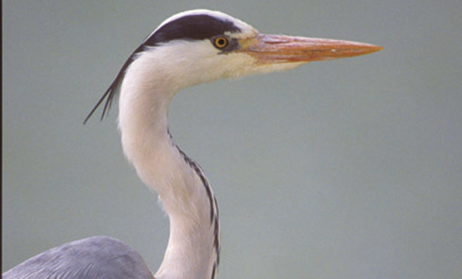 A close-up of a grey heron (Pic: Alamy)