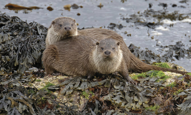 Two Eurasian otters (Pic: Alamy)