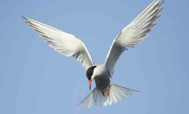 A common tern diving for fish (Pic: Alamy)