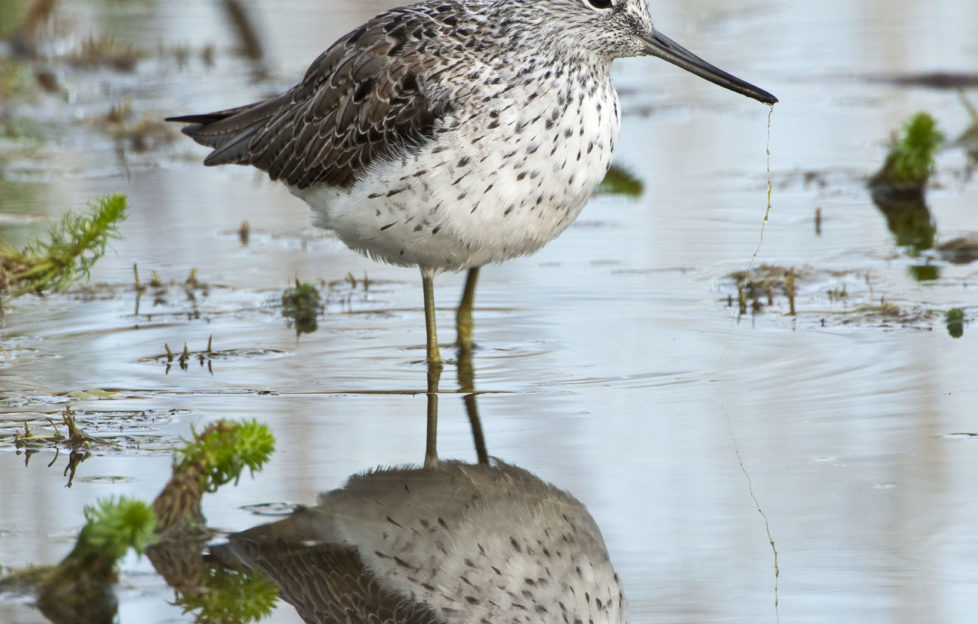 Greenshanks prove a difficult bird to spot for Jim Crumley! Getty Images.