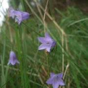 Harebells are the original Scottish bluebell and can be found in open grassland throughout the UK. Beth Halski.