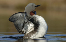 A red-throated diver stretching its wings