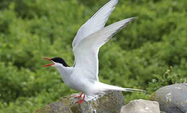 The Arctic tern's call is more of a scream (Pic: Thinkstock)