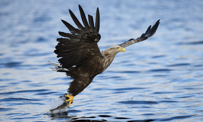A sea eagle fishing for food (Pic: Thinkstock)