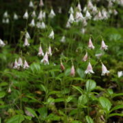 The Twinflower, a beautiful and delicate flower of the native pinewoods, is now quite rare in Scotland. Andrew Gagg.