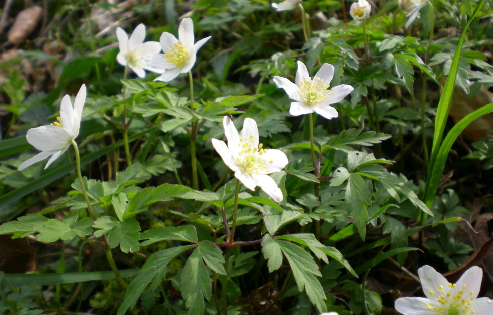 A more common wild flower, the wood anemone, carpets the forest floor in UK forests. Beth Newman