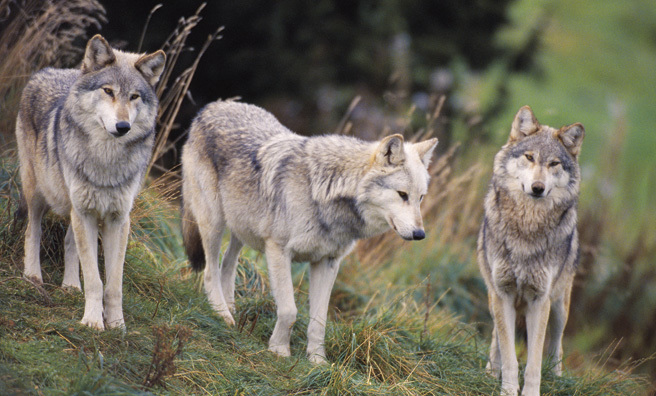 Wolves make everything in an ecosystem make sense