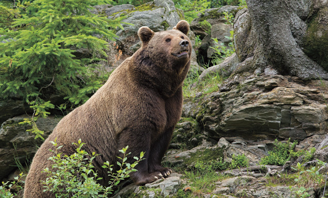 The European brown bear is waiting in the wings