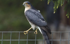 A male sparrowhawk at Grantown-on-Spey