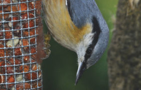 A nuthatch in its unique upside-down stance