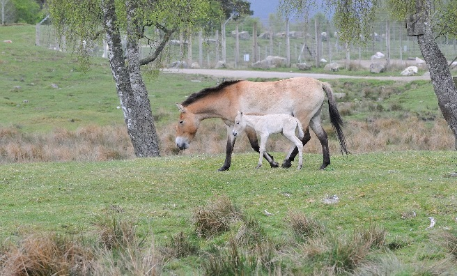 The Przewalski's wild horse with her foal at RZSS Highland Wildlife Park. Photo courtesy of RZSS