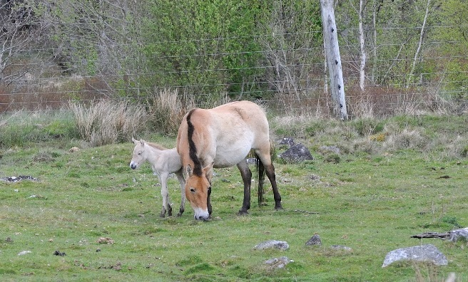 The Przewalski's wild horse foal takes a look around the RZSS Highland Wildlife Park. Photo courtesy of RZSS