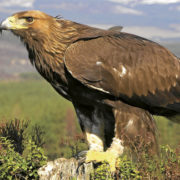 Golden eagles are natural cullers of mountain hares