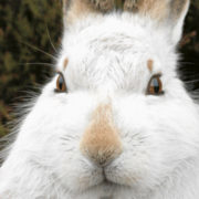 A close-up of a mountain hare in its white winter pelage