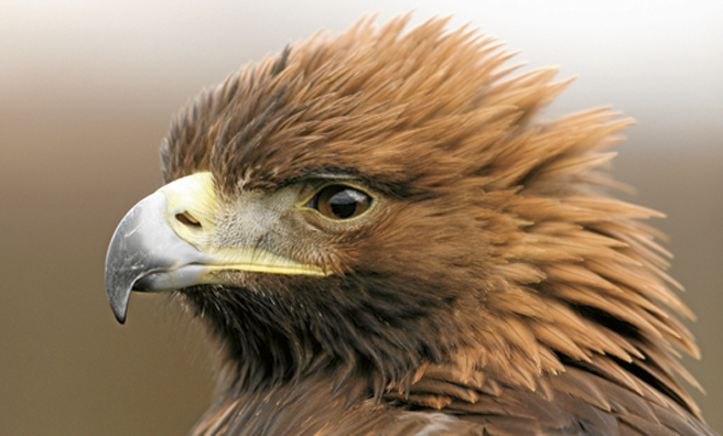 Eagle eyes – a hare's worst nightmare