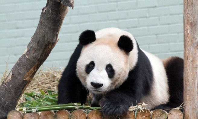 Giant Panda Yang Guang at Edinburgh Zoo. Photo courtesy of RZSS.