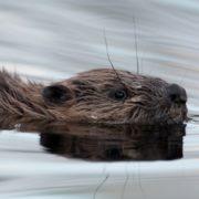 One of Scotland's wild beaver kits takes a dip.