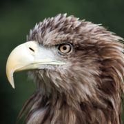 White tailed sea eagle (Pic: Alamy)