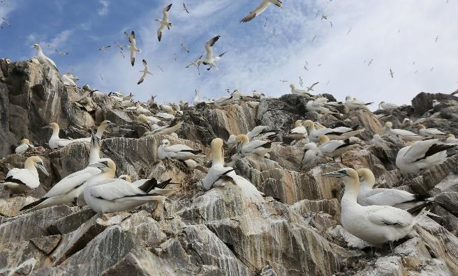 Gannets on the Bass Rock. Photo by Paul Hackett