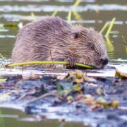 A beaver in Knapdale. Photo by Steve Gardner.