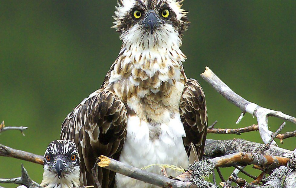 Jim Crumley goes on osprey watch on p34. Pic: David Tipling